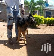 Young Male Purebred German Shepherd | Dogs & Puppies for sale in Kilifi, Malindi Town
