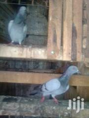 Doves.. White, Brown,Black. Crossbreed Of All The Above | Birds for sale in Nakuru, London