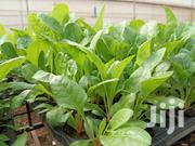 Spinach Seedlings | Feeds, Supplements & Seeds for sale in Kiambu, Juja