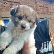 Baby Female Mixed Breed Maltese | Dogs & Puppies for sale in Busia, Marachi Central