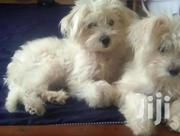 Young Male Mixed Breed Maltese | Dogs & Puppies for sale in Nairobi, Nairobi Central