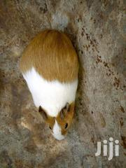 Mature Multi Colored Hamsters   Other Animals for sale in Nairobi, Nairobi Central