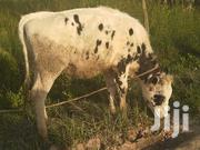 Pure Exotic Holstein Heifer | Livestock & Poultry for sale in Nyandarua, Githabai
