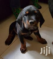 Young Male Purebred Rottweiler | Dogs & Puppies for sale in Kajiado, Kitengela