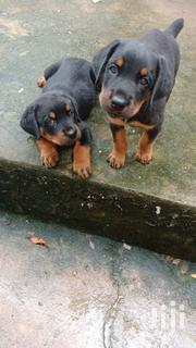 Baby Male Purebred Rottweiler | Dogs & Puppies for sale in Mombasa, Bamburi