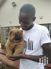 Young Male Purebred Chow Chow | Dogs & Puppies for sale in Nairobi, Kahawa