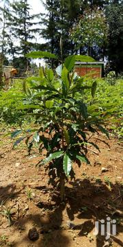 Indigenous Trees - Red Ceder, Prunus Africana, Olea,Zyzgium, Etc | Garden for sale in Nakuru, Molo