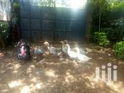Mature Geese | Livestock & Poultry for sale in Kiambu, Muchatha