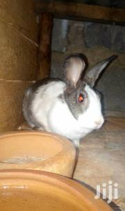 Matured Rabbits 7 Months Old | Livestock & Poultry for sale in Kiambu, Hospital (Thika)