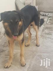 Adult Male Purebred German Shepherd | Dogs & Puppies for sale in Mombasa, Ziwa La Ng'Ombe