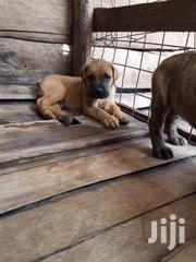 Young Male Purebred Boerboel   Dogs & Puppies for sale in Kisii, Basi Central