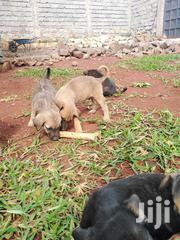Baby Male Mixed Breed Boerboel | Dogs & Puppies for sale in Kiambu, Ruiru