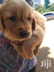 Baby Male Purebred Golden Retriever | Dogs & Puppies for sale in Nairobi, Kahawa