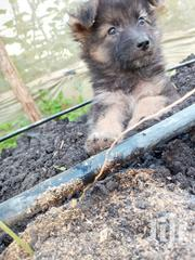 Baby Male Mixed Breed German Shepherd | Dogs & Puppies for sale in Machakos, Syokimau/Mulolongo