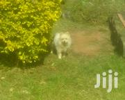 Adult Male Purebred Japanese Chin | Dogs & Puppies for sale in Kiambu, Gitaru
