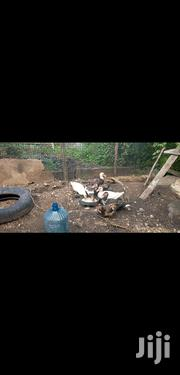Muscovy Ducks | Livestock & Poultry for sale in Machakos, Athi River