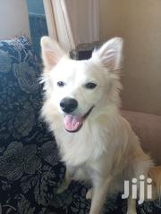 Adult Male Purebred Japanese Spitz | Dogs & Puppies for sale in Nairobi, Embakasi
