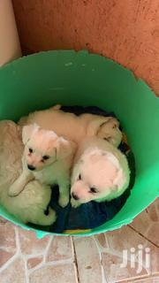 Baby Male Purebred Japanese Spitz | Dogs & Puppies for sale in Nairobi, Roysambu