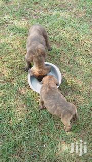 Young Female Purebred Boerboel   Dogs & Puppies for sale in Kisii, Kisii Central