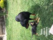 Young Female Mixed Breed Rottweiler   Dogs & Puppies for sale in Kajiado, Ongata Rongai